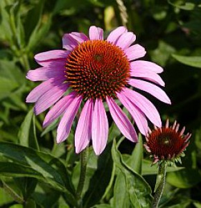 echinacea-purpurea.jpg